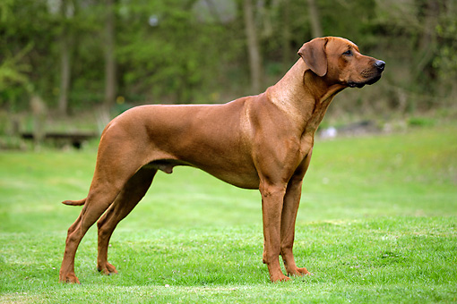 DOG 14 JD0002 01 © Kimball Stock Rhodesian Ridgeback Standing On Grass By Trees