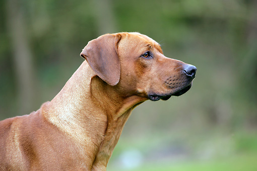 DOG 14 JD0003 01 © Kimball Stock Shoulder Shot Of Rhodesian Ridgeback Standing On Grass By Trees