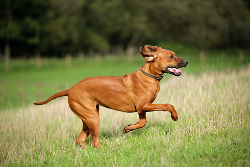 DOG 14 JD0004 01 © Kimball Stock Rhodesian Ridgeback Running In Field By Trees