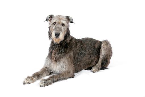 DOG 14 JD0006 01 © Kimball Stock Irish Wolfhound Laying On White Seamless