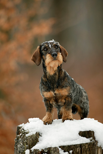 DOG 14 KH0001 01 © Kimball Stock Standard Wirehaired Dachshund Sitting On Snow