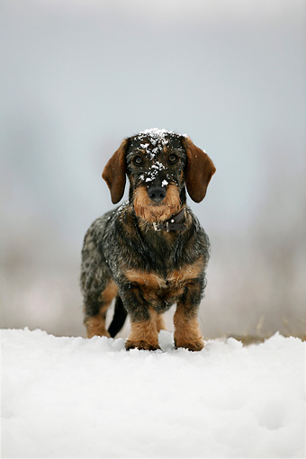 DOG 14 KH0003 01 © Kimball Stock Standard Wirehaired Dachshund Standing On Snow