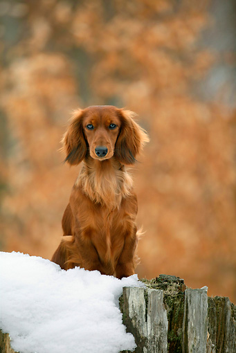 DOG 14 KH0006 01 © Kimball Stock Standard Longhaired Dachshund Sitting On Snow