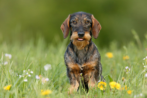 DOG 14 KH0007 01 © Kimball Stock Standard Wirehaired Dachshund Sitting In Field
