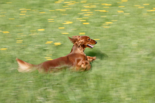 DOG 14 KH0009 01 © Kimball Stock Standard Longhaired Dachshund Running Through Field