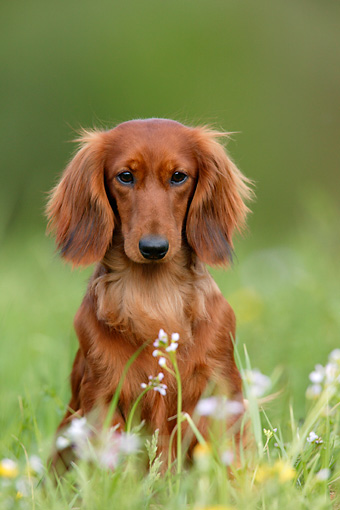 DOG 14 KH0012 01 © Kimball Stock Standard Longhaired Dachshund Sitting In Field