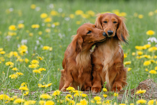 DOG 14 KH0013 01 © Kimball Stock Two Standard Longhaired   Dachshunds Sitting And Nuzzling In Field