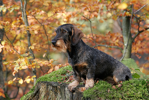 DOG 14 KH0015 01 © Kimball Stock Standard Wirehaired Dachshund Sitting On Rock In Forest
