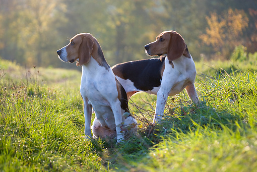DOG 14 KH0020 01 © Kimball Stock Two Artois Hounds Sitting And Standing In Field Looking Away