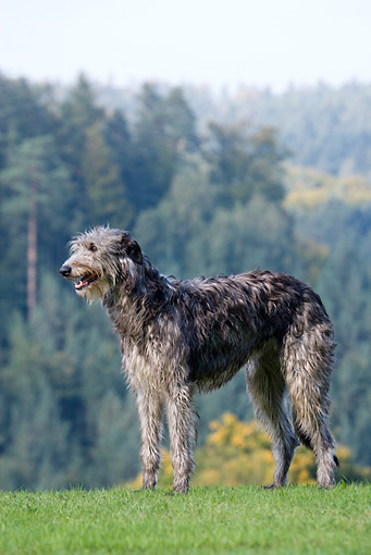 DOG 14 KH0021 01 © Kimball Stock Scottish Deerhound Standing In Field By Forest