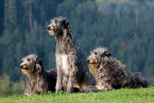 DOG 14 KH0022 01 © Kimball Stock Three Scottish Deerhounds Sitting And Laying In Field
