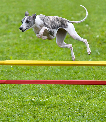 DOG 14 KH0023 01 © Kimball Stock Whippet Jumping Over Yellow And Red Poles On Grass Agility