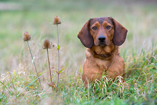DOG 14 KH0026 01 © Kimball Stock Alpine Dachsbracke Sitting In Field By Plant