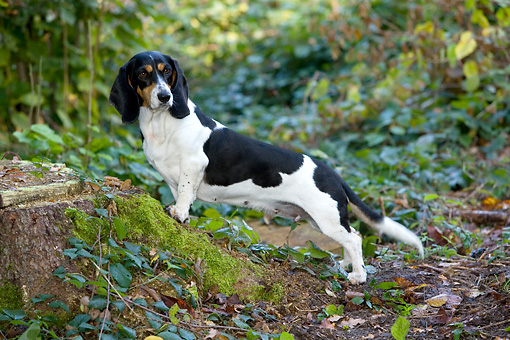 DOG 14 KH0030 01 © Kimball Stock Bernese Swiss Hound Standing On Stump In Woods
