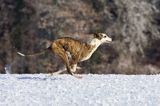 DOG 14 KH0032 01 © Kimball Stock Magyar Agar Running On Snow Profile By Woods