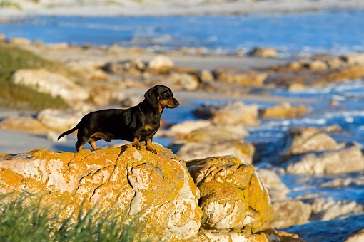 DOG 14 KH0038 01 © Kimball Stock Shorthair Dachshund Standing On Rock At Beach