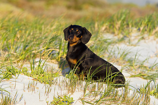 DOG 14 KH0041 01 © Kimball Stock Shorthair Dachshund Sitting On Sand And Grass At Beach