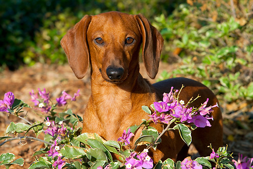 DOG 14 LS0001 01 © Kimball Stock Smooth-coated Dachshund Standing In Purple Flowers