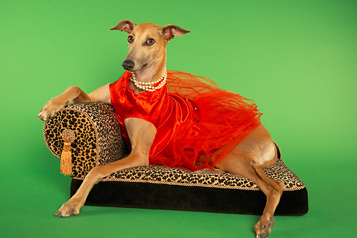 DOG 14 MQ0001 01 © Kimball Stock Humorous Brown Greyhound Wearing Red Dress On Chaise Longue On Green Background