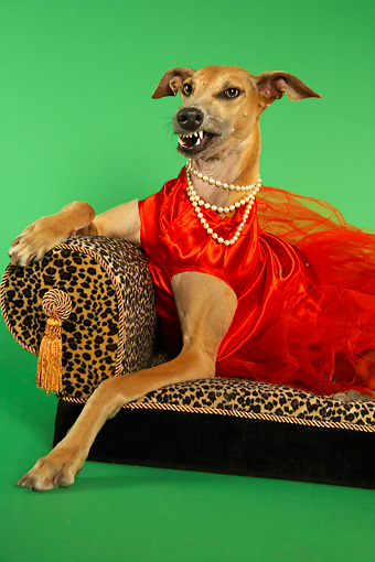 DOG 14 MQ0002 01 © Kimball Stock Humorous Snarling Brown Greyhound Wearing Red Dress On Chaise Longue On Green Background