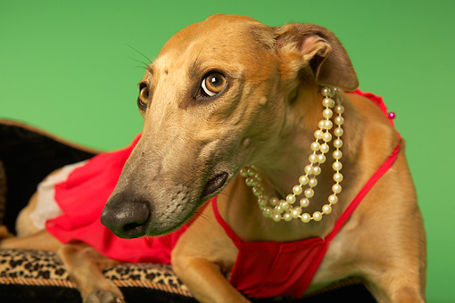 DOG 14 MQ0003 01 © Kimball Stock Humorous Brown Greyhound Wearing Red Dress On Chaise Longue On Green Background