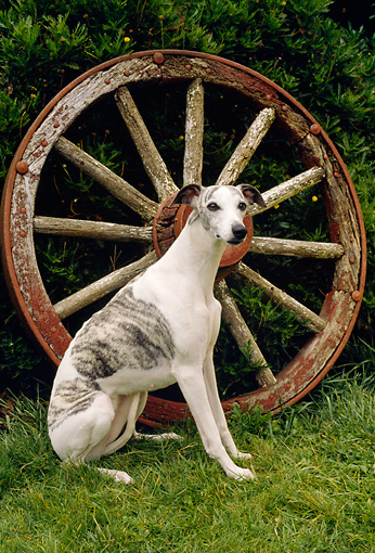 DOG 14 RC0005 01 © Kimball Stock Whippet Sitting On Grass By Wagon Wheel
