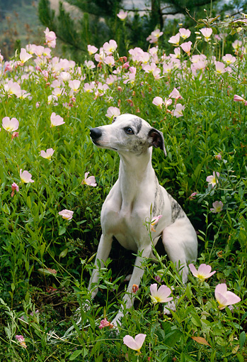 DOG 14 RC0006 01 © Kimball Stock Whippet Sitting Amongst Pink Flowers