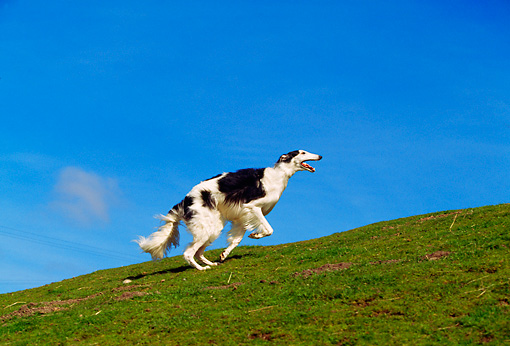 DOG 14 RK0019 04 © Kimball Stock Russian Wolfhound Borzoi Running On Grass Hill
