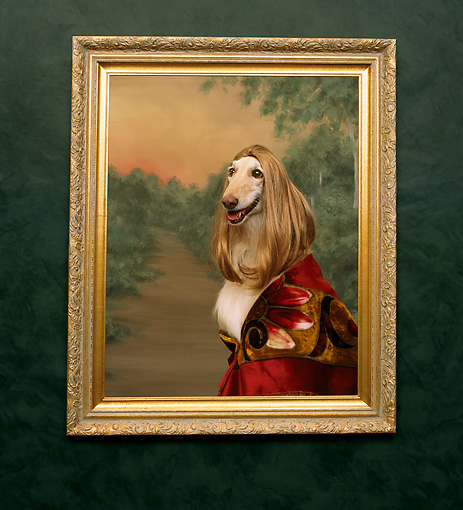 DOG 14 RK0026 10 © Kimball Stock Bona Lisa  Afghan Hound In Picture