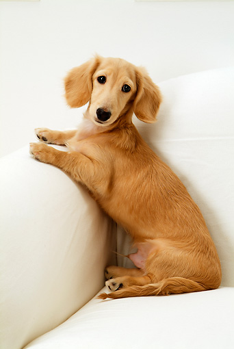 DOG 14 YT0005 01 © Kimball Stock Dachshund Sitting On Arm Of White Couch