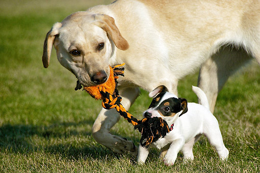 DOG 17 DB0002 01 © Kimball Stock Yellow Labrador Retriever Playing With Jack Russell Terrier Puppy