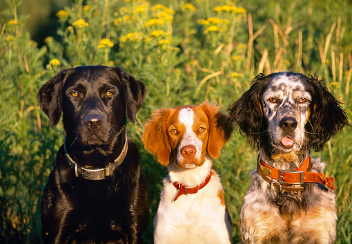 DOG 17 DS0001 01 © Kimball Stock Head Shot Of Black Labrador Retriever, Brittany, And English Springer Spaniel Sitting In Field
