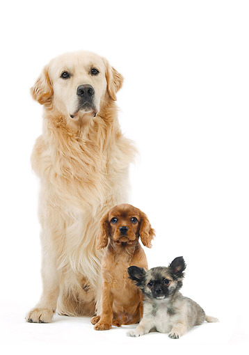 DOG 17 JE0009 01 © Kimball Stock Golden Retriever, Cavalier King Charles Spaniel And Chihuahua On White Seamless