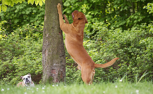 DOG 17 JE0011 01 © Kimball Stock Dogue De Bordeaux Jumping Up Tree With English Bulldog Watching In Grass