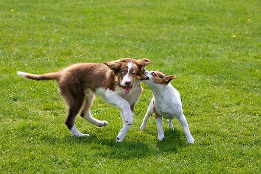 DOG 17 JS0004 01 © Kimball Stock Border Collie Puppy And Jack Russell Terrier Play Fighting On Grass