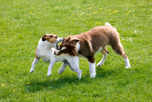 DOG 17 JS0005 01 © Kimball Stock Border Collie Puppy And Jack Russell Terrier Play Fighting On Grass