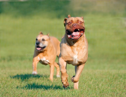 DOG 17 MB0001 01 © Kimball Stock Mastiff And Bulldog Running On Grass