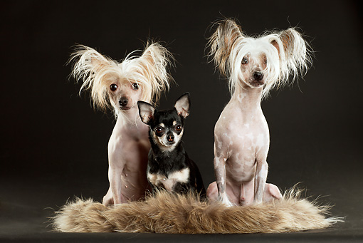 DOG 17 MQ0010 01 © Kimball Stock Two Chinese Crested Dogs And Chihuahua Sitting On Fur Rug In Studio