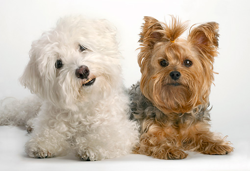 DOG 17 MR0003 01 © Kimball Stock Bichon Frise And Yorkshire Terrier Laying On White Seamless