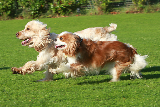 DOG 17 NR0002 01 © Kimball Stock English Cocker Spaniel And Cavalier King Charles Spaniel Running On Grass