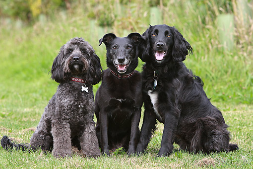 DOG 17 NR0003 01 © Kimball Stock Three Mixed Breed Dogs Sitting On Grass