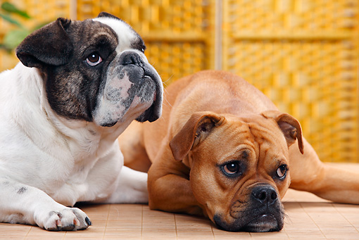 DOG 17 PE0002 01 © Kimball Stock Close-Up Of English Bulldog And English And French Bulldog Mix Laying On Floor