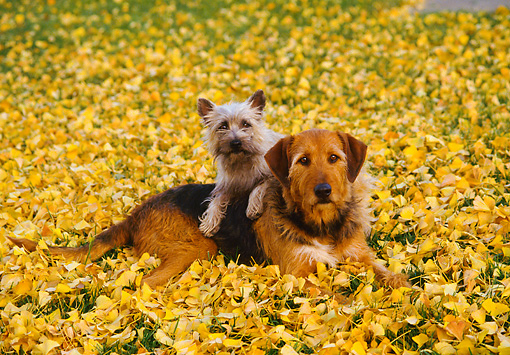 DOG 17 RK0050 01 © Kimball Stock Cairn Terrier Laying On Top Of Mixed Breed On Grass With Yellow Leaves