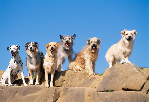 DOG 17 RK0052 77 © Kimball Stock Group of Dogs Standing On Top Of Rocks Blue Sky