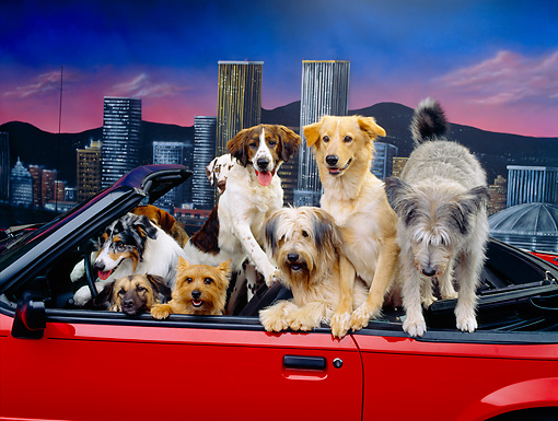 DOG 17 RK0078 24 © Kimball Stock A Group Of Dogs Sitting In Red Convertible Car Facing Camera City Background