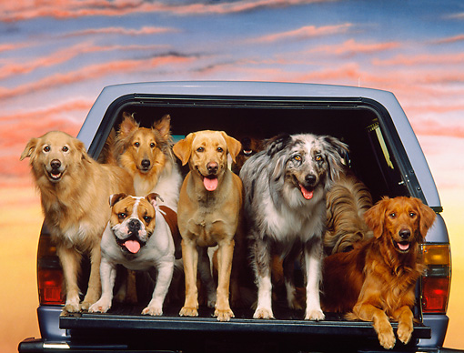 DOG 17 RK0097 16 © Kimball Stock Group of Dogs Standing Together In Back Of Truck Sunset Background