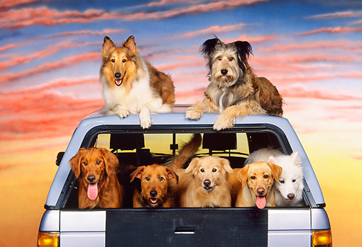 DOG 17 RK0098 04 © Kimball Stock Group of Dogs Sitting In Truck Sunset Background