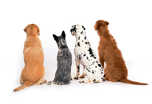 DOG 17 RK0104 09 © Kimball Stock Golden Lab, Australian Cattle Dog, Dalmatian And Mixed Breed Sitting With Back Turned White Seamless