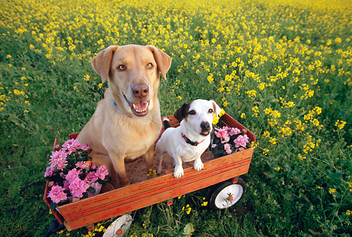 DOG 17 RK0111 04 © Kimball Stock Jack Russell Terrier And Yellow Labrador Retriever Sitting In Red Wagon