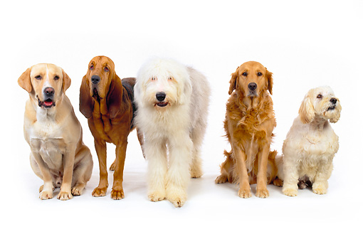 DOG 17 RK0113 05 © Kimball Stock A Group Of Dogs Sitting And Standing On White Seamless Facing Camera